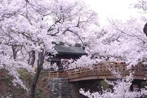 高遠桜.jpg